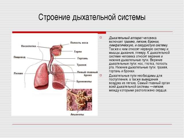 Строение дыхательной системы Дыхательный аппаратчеловека включаеттрахею, ле...