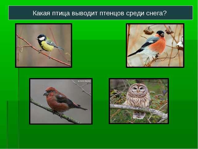 Какая птица выводит птенцов среди снега?