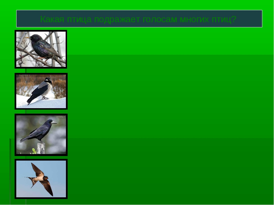 Какая птица подражает голосам многих птиц?