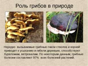 Роль грибов в природе Нередко вызываемые грибные гнили стволов и корней приво