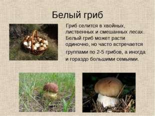 Белый гриб Гриб селится в хвойных, лиственных и смешанных лесах. Белый гриб м