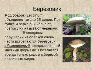 Берёзовик Род обабок (Leccinum) объединяет около 25 видов. При сушке и варке