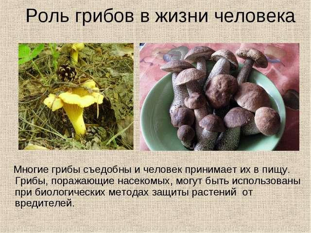 Роль грибов в жизни человека Многие грибы съедобны и человек принимает их в п...