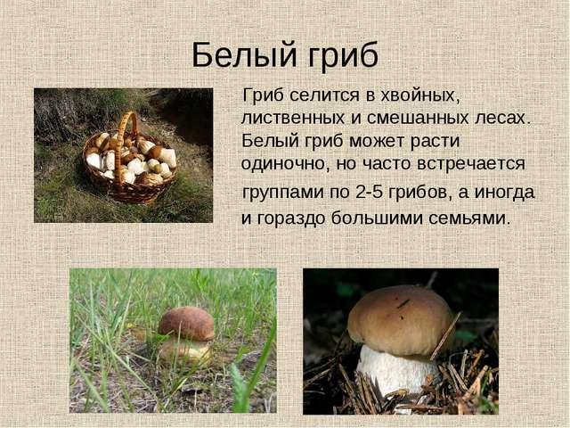 Белый гриб Гриб селится в хвойных, лиственных и смешанных лесах. Белый гриб м...
