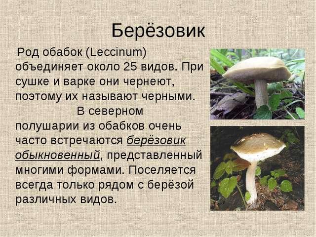 Берёзовик Род обабок (Leccinum) объединяет около 25 видов. При сушке и варке...