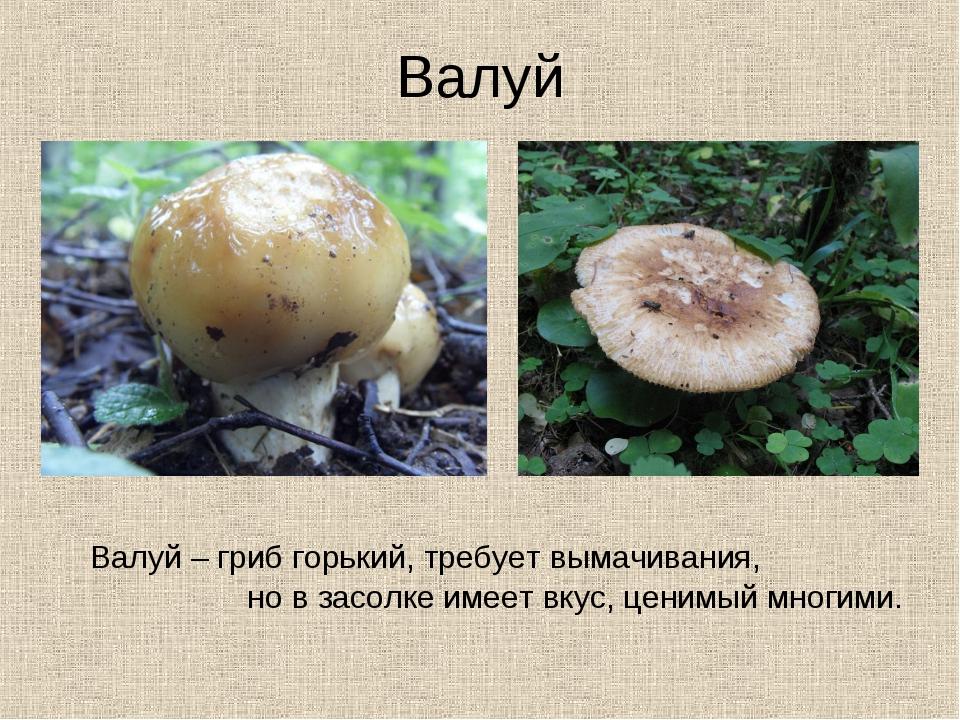 Валуй Валуй – гриб горький, требует вымачивания, но в засолке имеет вкус, цен...