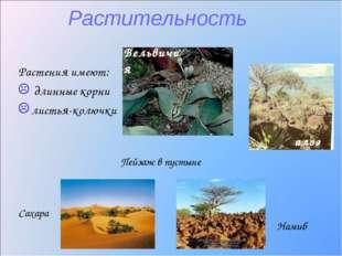 Растительность Растения имеют: длинные корни листья-колючки Вельвичия Пейзаж