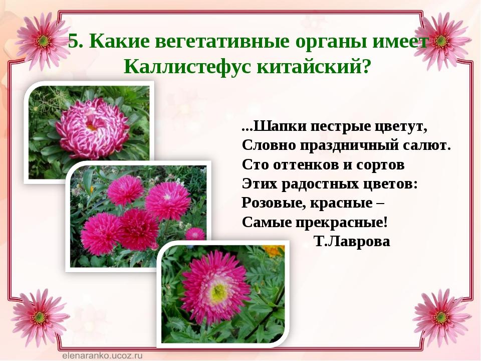 5. Какие вегетативные органы имеет Каллистефус китайский? ...Шапки пестрые цв...