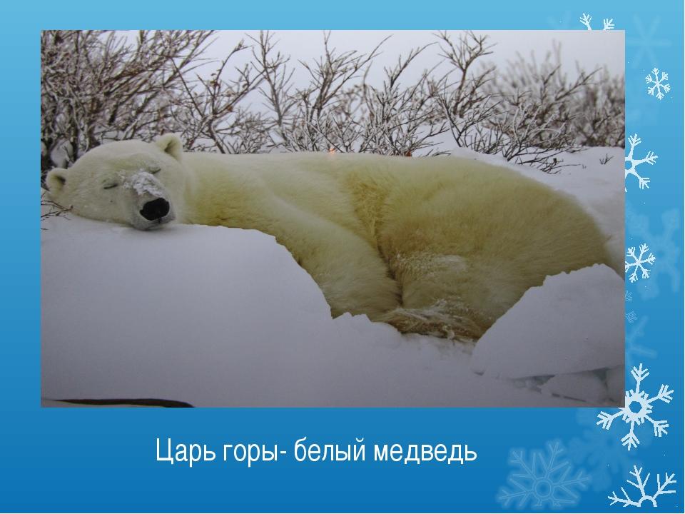 Царь горы- белый медведь