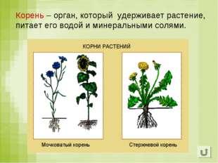 Корень – орган, который удерживает растение, питает его водой и минеральными