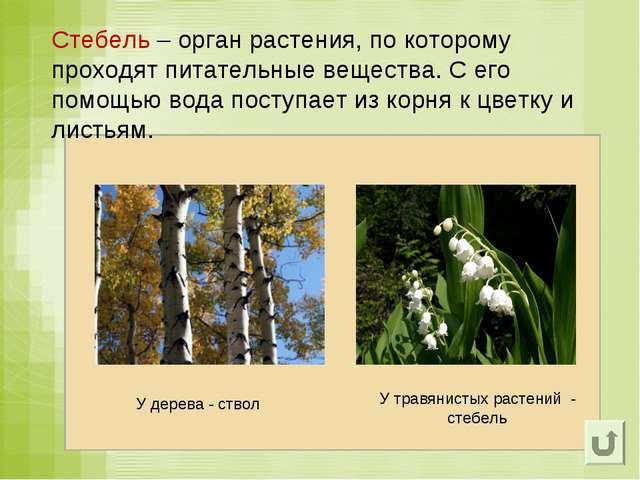 Стебель – орган растения, по которому проходят питательные вещества. С его по...