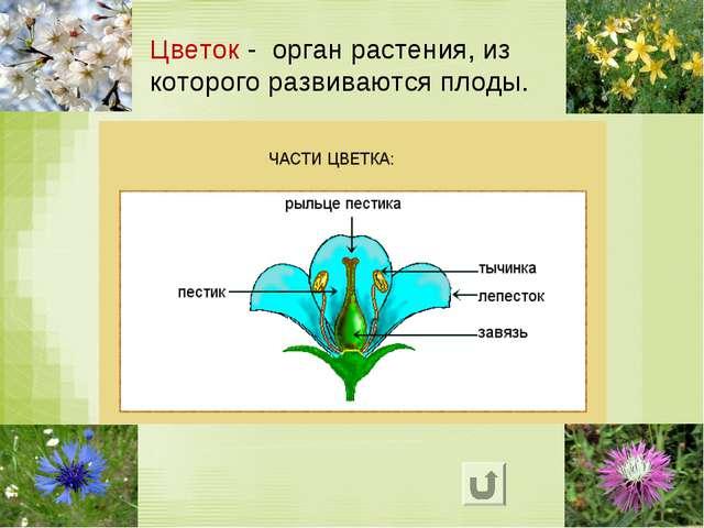 Цветок - орган растения, из которого развиваются плоды.