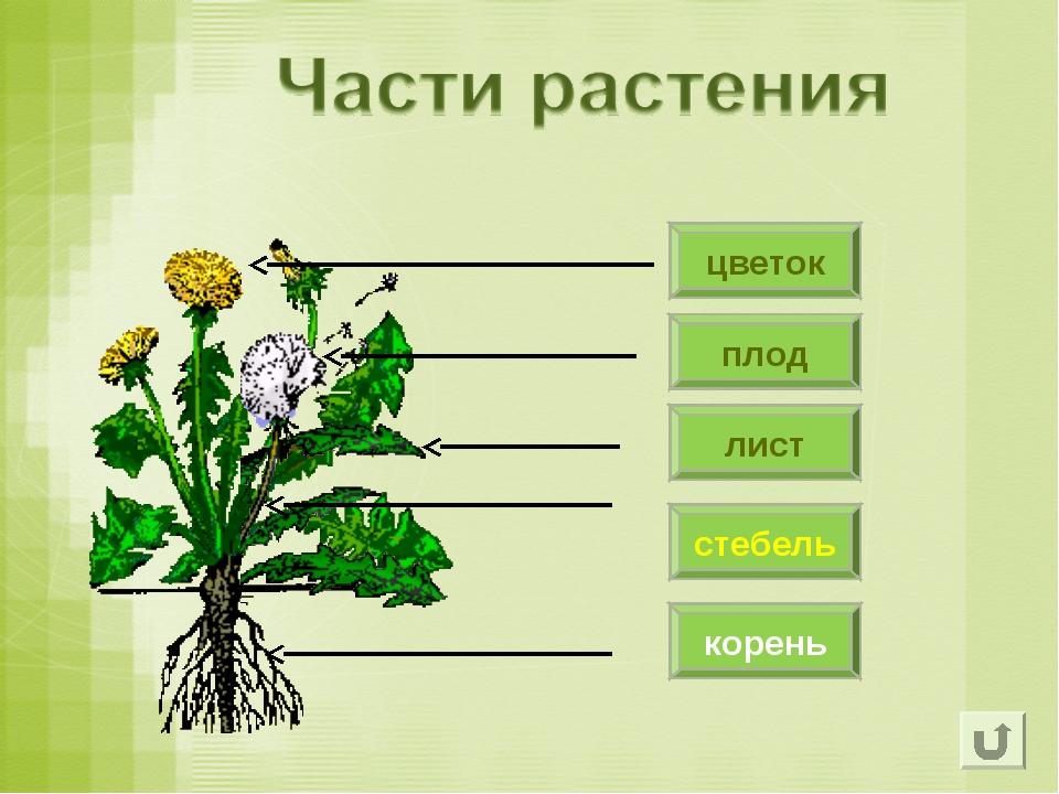 плод цветок лист стебель корень