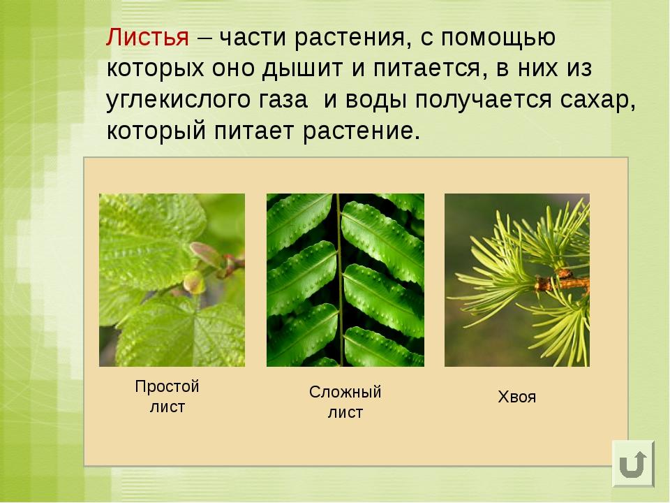 Листья – части растения, с помощью которых оно дышит и питается, в них из угл...
