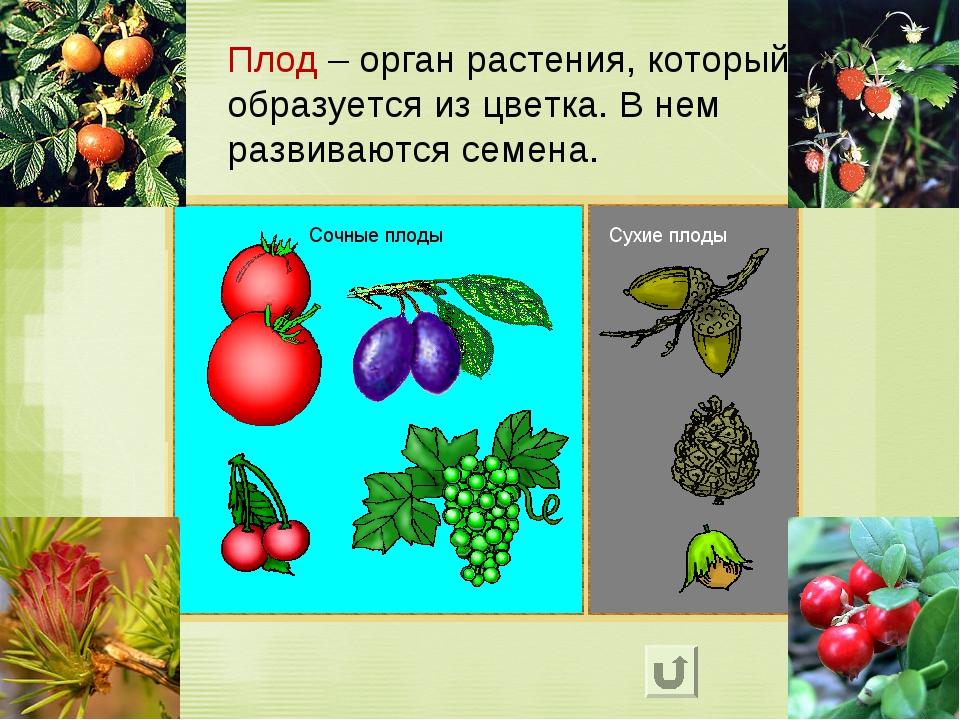 Плод – орган растения, который образуется из цветка. В нем развиваются семена.