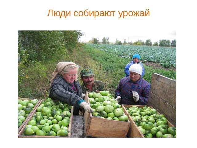 Люди собирают урожай