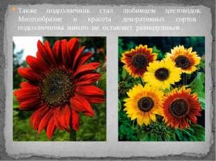 Также подсолнечник стал любимцем цветоводов. Многообразие и красота декоратив