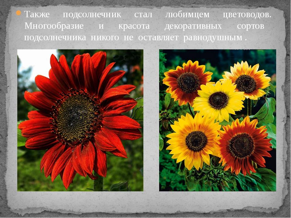Также подсолнечник стал любимцем цветоводов. Многообразие и красота декоратив...
