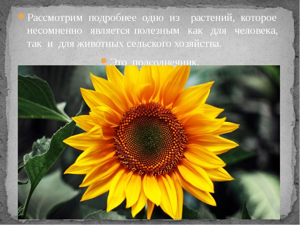 Рассмотрим подробнее одно из растений, которое несомненно является полезным к...
