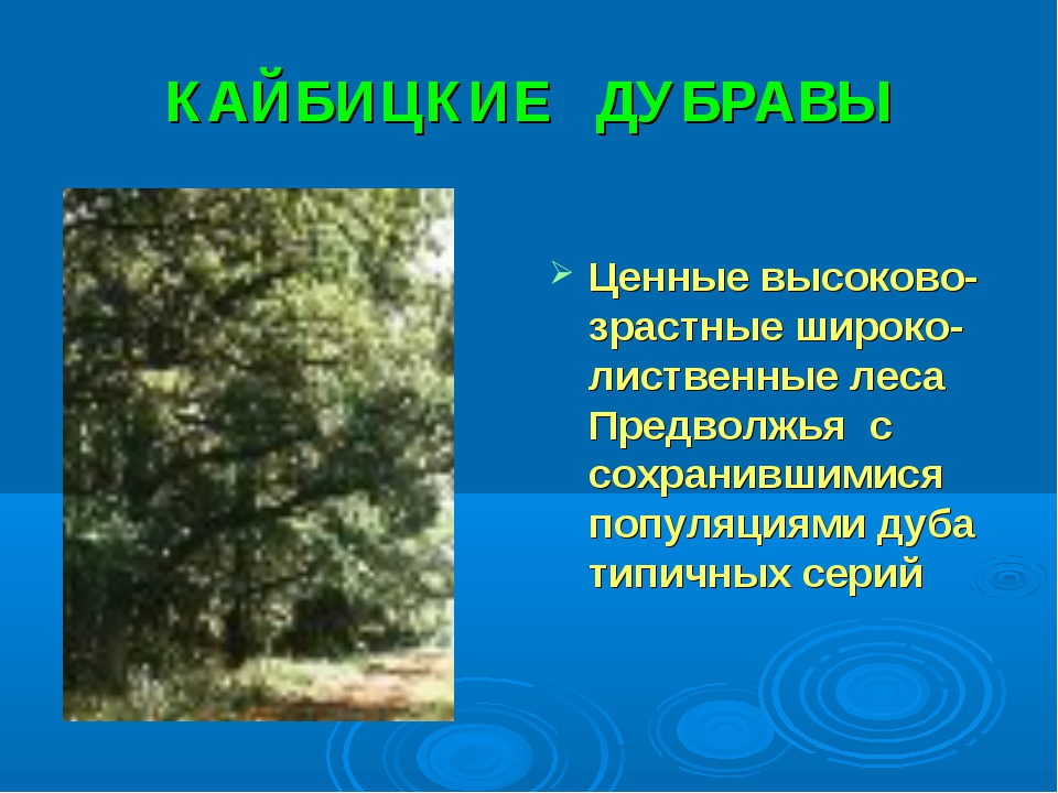 КАЙБИЦКИЕ ДУБРАВЫ Ценные высоково-зрастные широко-лиственные леса Предволжья...