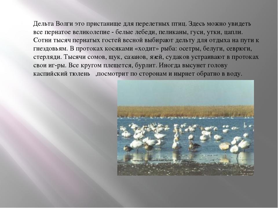 Дельта Волги это пристанище для перелетных птиц. Здесь можно увидеть все пер...