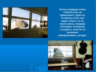 Белые медведи очень любопытны, их привлекают туристы. Особенно если они жарят