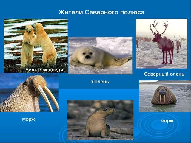 Жители Северного полюса Северный олень морж тюлень морж Белые медведи
