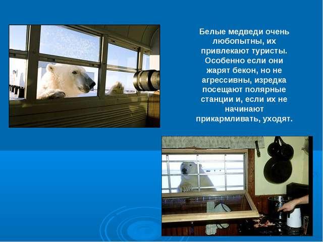 Белые медведи очень любопытны, их привлекают туристы. Особенно если они жарят...