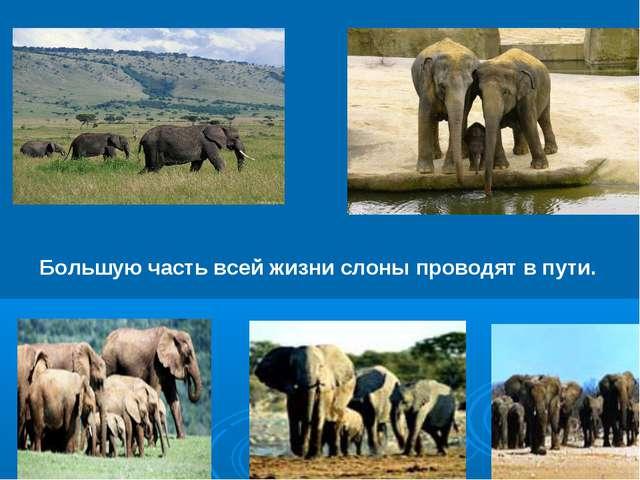 Большую часть всей жизни слоны проводят впути.