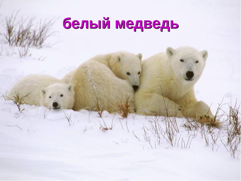 белый медведь как живет летом в