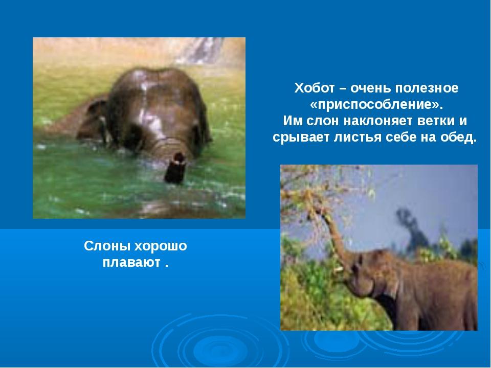 Слоны хорошо плавают . Хобот – очень полезное «приспособление». Им слон накло...