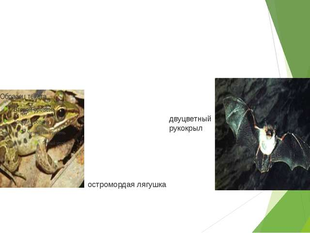 остромордая лягушка двуцветный рукокрыл