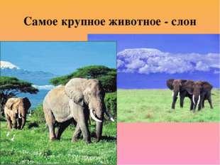 Самое крупное животное - слон
