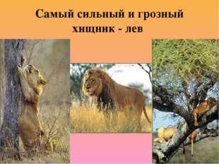 Самый сильный и грозный хищник - лев