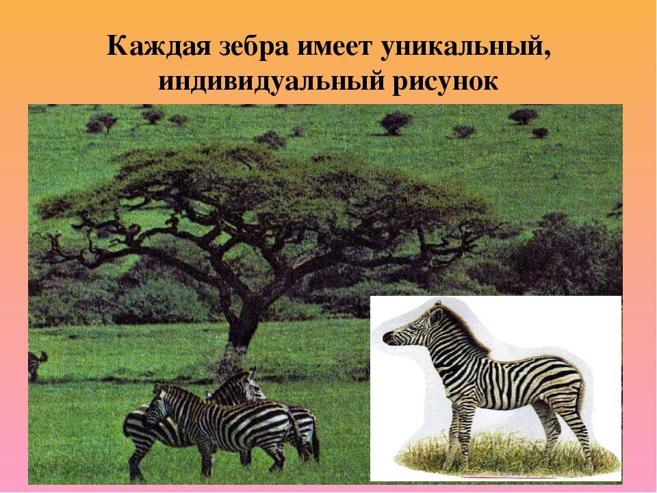 Каждая зебра имеет уникальный, индивидуальный рисунок