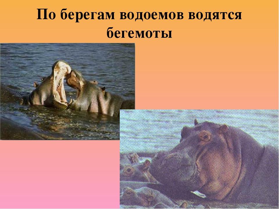 По берегам водоемов водятся бегемоты