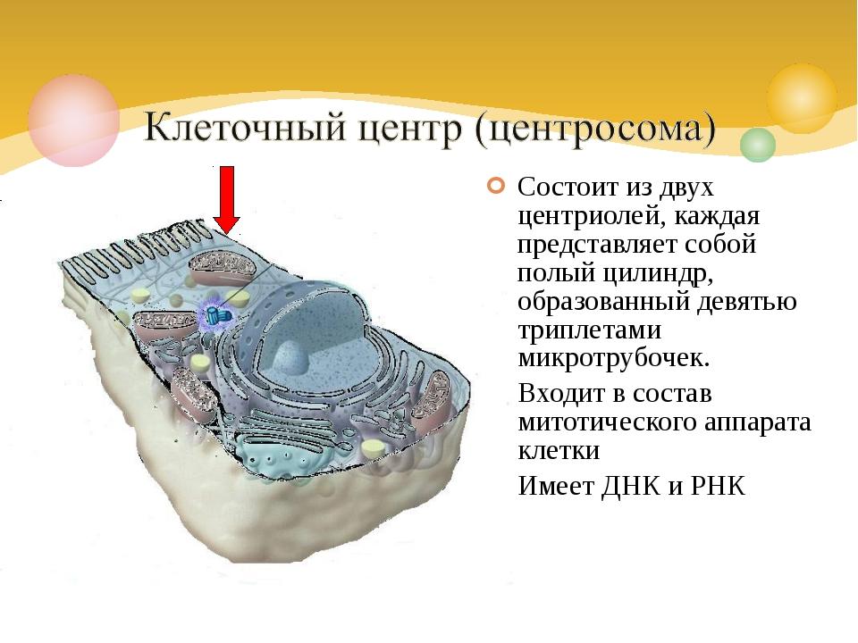 Состоит из двух центриолей, каждая представляет собой полый цилиндр, образова...