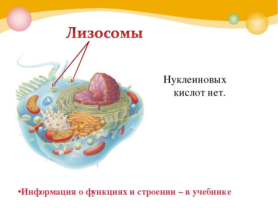 Нуклеиновых кислот нет. Информация о функциях и строении – в учебнике