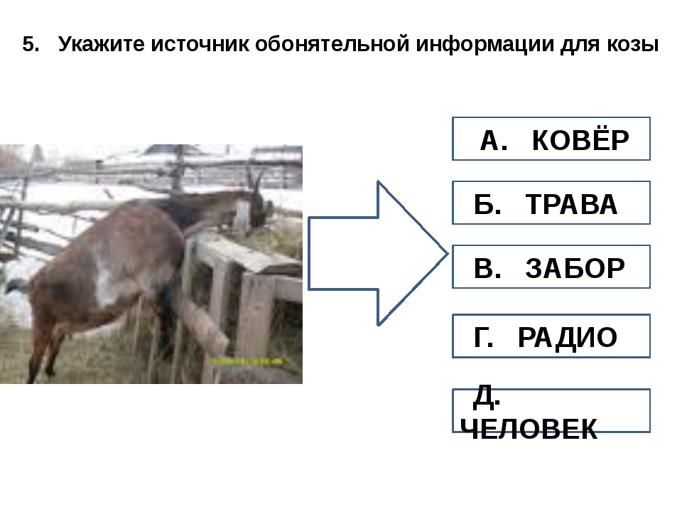 5. Укажите источник обонятельной информации для козы А. КОВЁР Б. ТРАВА В. ЗАБ...
