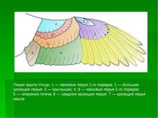 Перья крыла птицы: 1— маховые перья 1-го порядка; 2— большие кроющие перья;