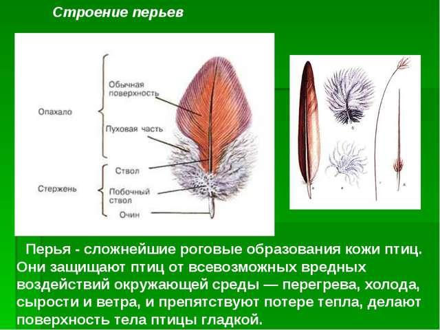 Перья - сложнейшие роговые образования кожи птиц. Они защищают птиц от всево...
