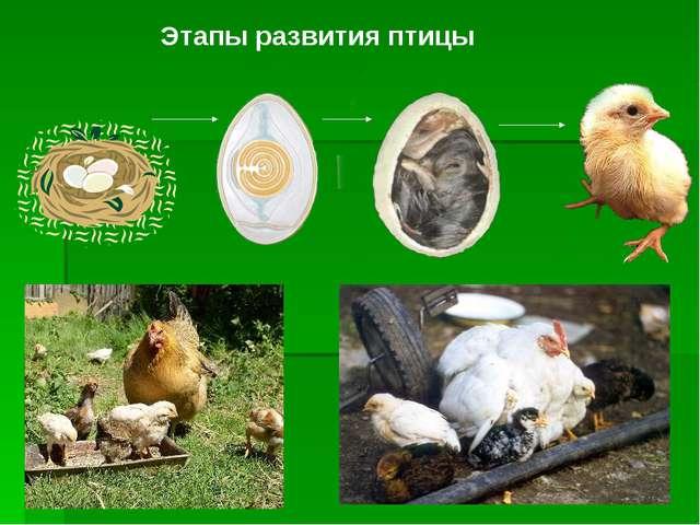 Этапы развития птицы
