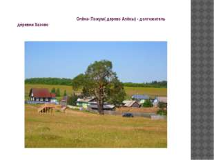 Олёна- Пожум( дерево Алёны) - долгожитель деревни Хазово