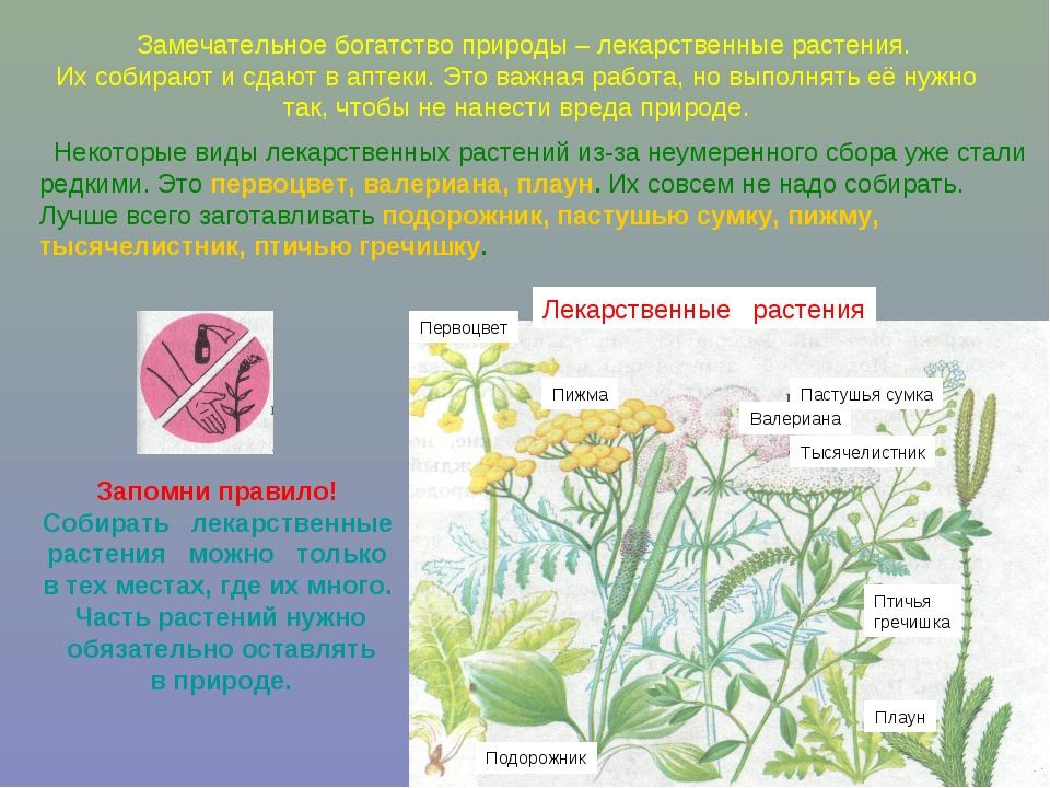 Замечательное богатство природы – лекарственные растения. Их собирают и сдаю...