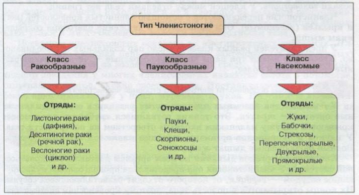 Схему классификации типа членистоногих