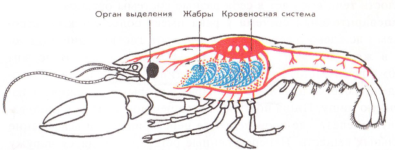 Кровеносная система членистоногих - Картинка 14109/20