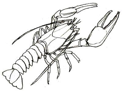Как нарисовать рака поэтапно Рисунок речного рака карандашом