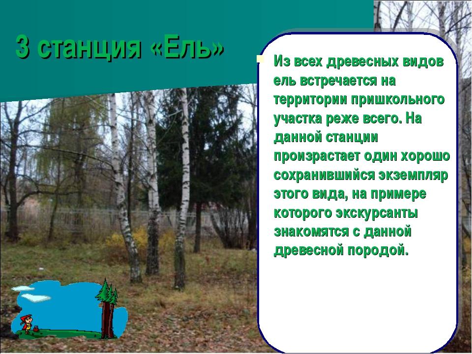 3 станция «Ель» Из всех древесных видов ель встречается на территории пришкол...