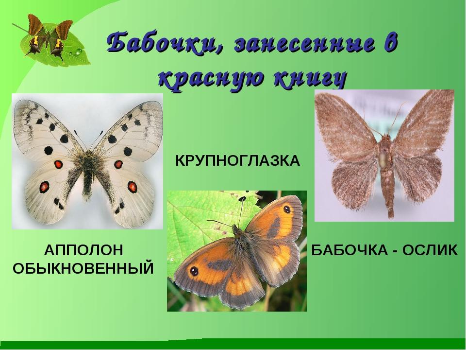 Бабочки, занесенные в красную книгу АППОЛОН ОБЫКНОВЕННЫЙ КРУПНОГЛАЗКА БАБОЧКА...