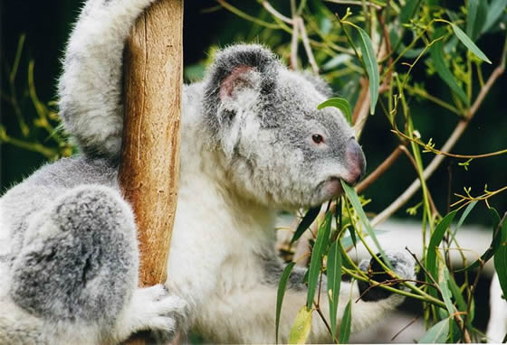 Koala eating eucalyptus plants